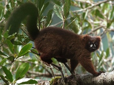Tracking individual lemurs—such as the endangered red-bellied lemur pictured here—is no easy task. But researchers hope that facial recognition software can help in the fight for the survival of the bushy-tailed primates.