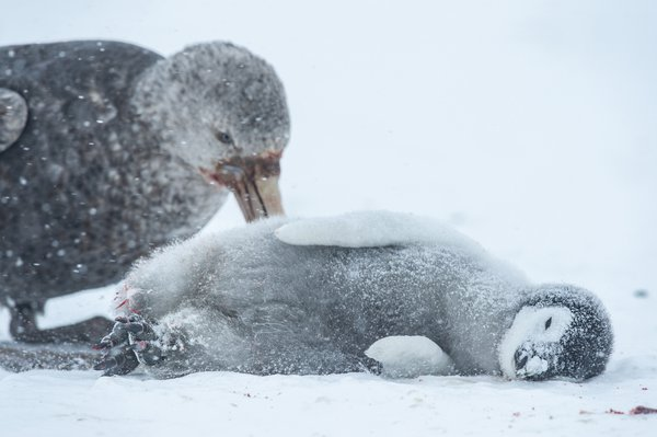 Emperor penguin chick tragedy thumbnail