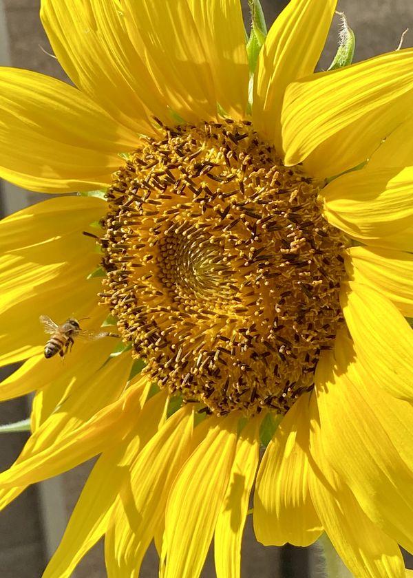 Bee Sunflower thumbnail