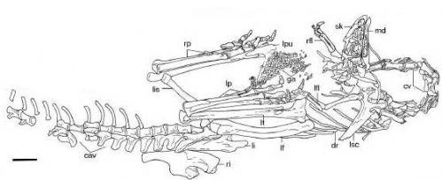 20110520083220limusaurus-skeleton.jpg