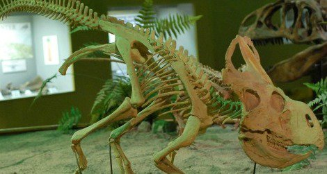 A reconstruction of Protoceratops at the Wyoming Dinosaur Center in Thermopolis, WY