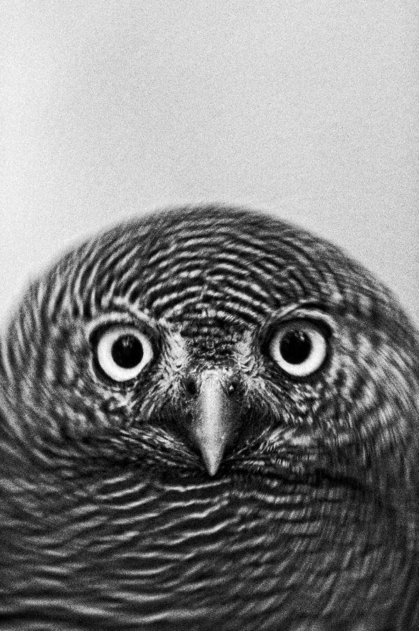 Portrait Of An Owl thumbnail