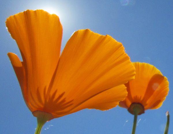Sun rimmed poppies thumbnail