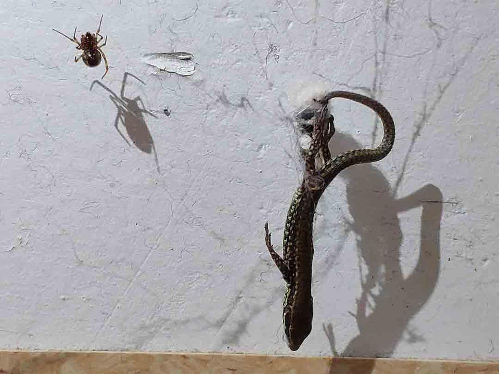A photo shows a lizard hanging upside down in a spider web with a spider sitting on the web to the left
