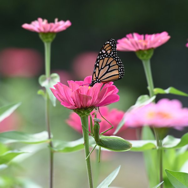 Monarch Butterfly about to fall prey. thumbnail