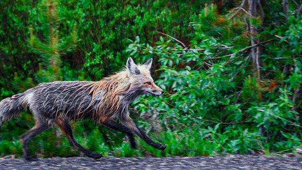 Fox Running After a Rainstorm in Yellowstone thumbnail