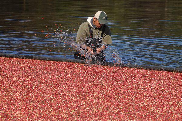 cranberry harvest thumbnail
