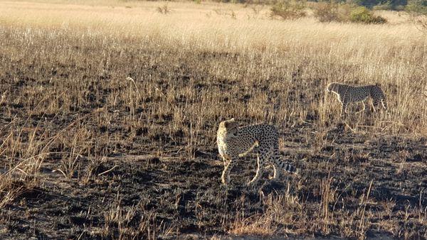 Cheetahs Spotted  thumbnail