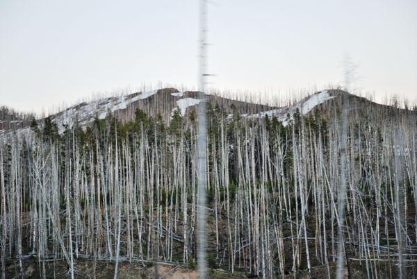 Bare Trees of Yellowstone  thumbnail