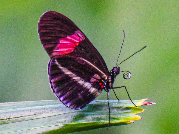 Butterfly drinking thumbnail