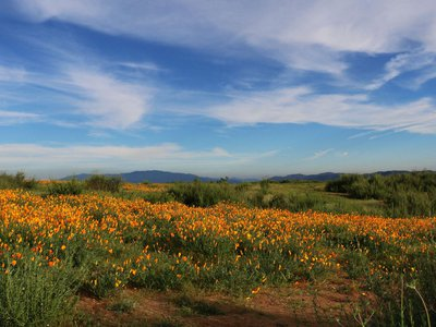 Among all those poppies is something less beautiful—noxious, invasive weeds.