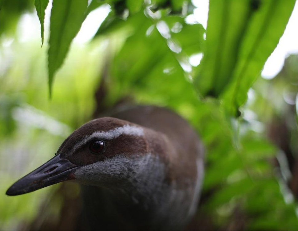 A bird, called a Guam rail, walks along the ground in a forested area