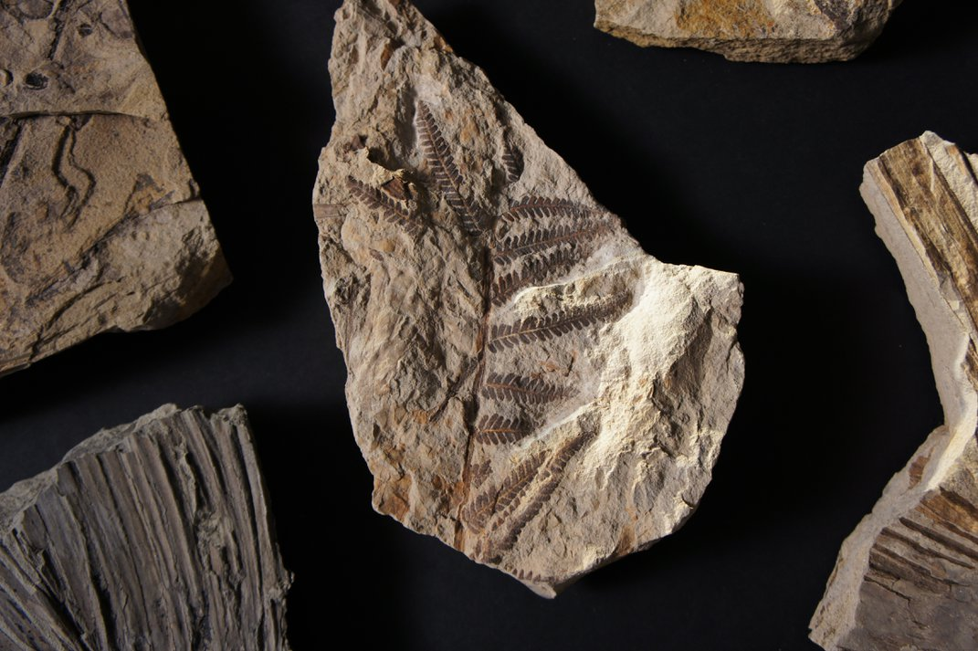 Beige and brown fossil leaves in rocks on a black background.