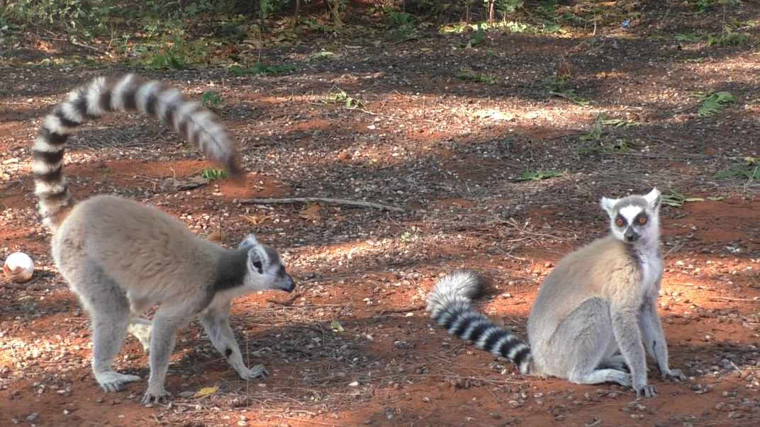 A male lemur waiving his tail at a female.