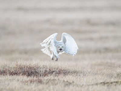A female snowy owl leaves her nest as a human approaches. This is her first line of defense to not draw attention to the nest location.