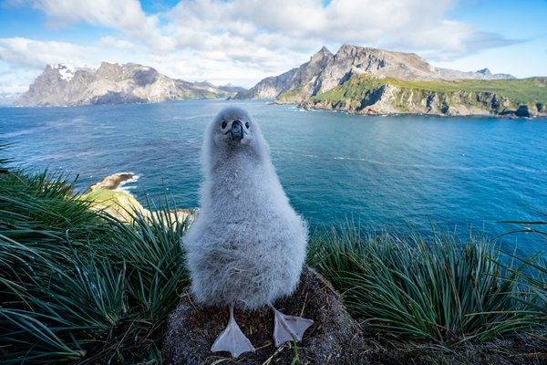 Black Browed Albatross with a view thumbnail