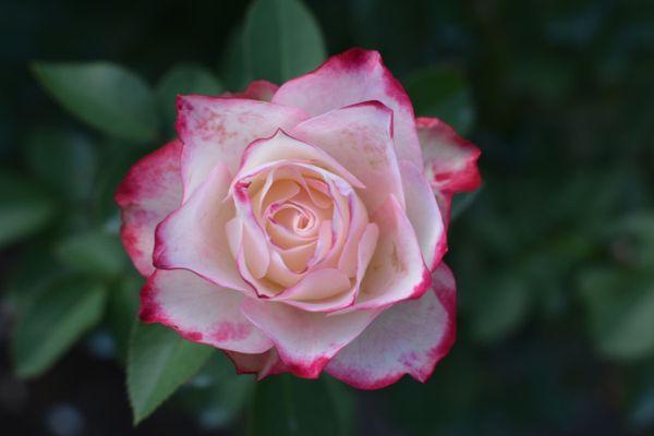 Geometric Rose thumbnail