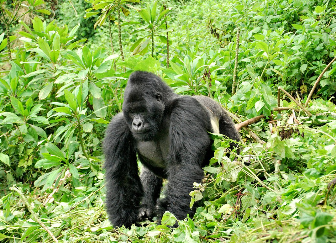 Dian Fossey's Gorilla Skulls Are Scientific Treasures and a Symbol of Her Fight