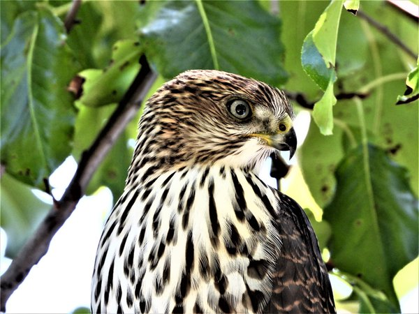 A young Cooper's hawk hunting.  Taken with a Nikon Coolpix P1000 thumbnail