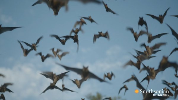 Preview thumbnail for Why Bats Are Better Than Humans at Dealing With Viruses