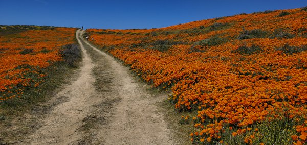 Poppies In The Antelope Valley. thumbnail