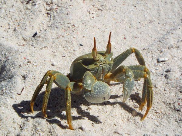 Horn-Eyed Ghost Crab thumbnail