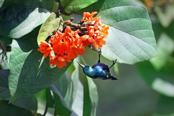 A shiny sunbird hanging upside down in order to sip nectar from the flowers of a Scarlet Cordia tree. thumbnail
