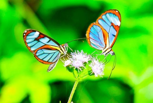 Butterflies in Panama thumbnail