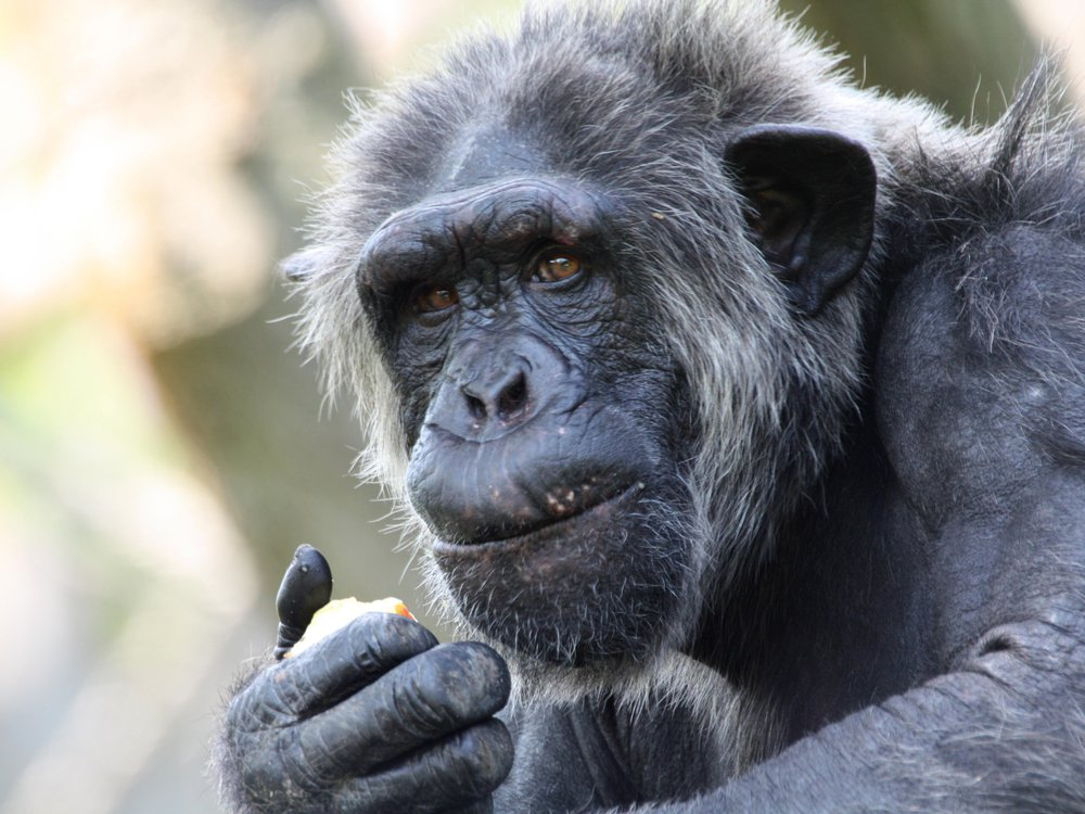 Alzheimer's Chimp