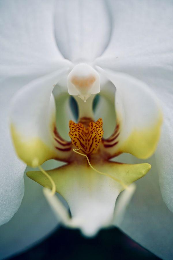 White Phalaenopsis Orchid thumbnail