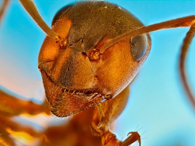 Red forest ant (Formica rufa). This image was awarded honorable mention in this year's Nikon Small World contest.