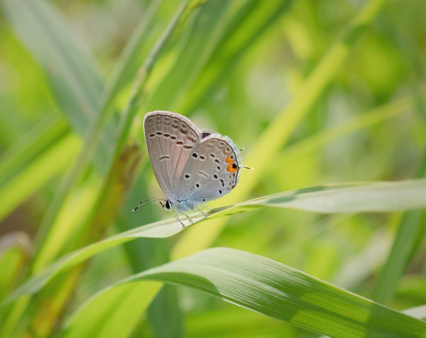 An Eastern Tailed Blue butterfly on a blade of grass thumbnail
