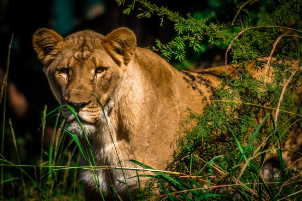Lioness Watching thumbnail