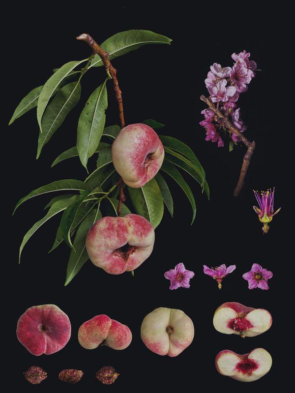 Amygdalus persica ' Flat peach' thumbnail