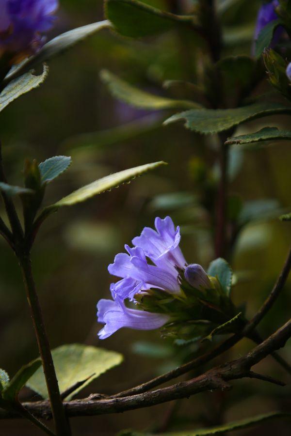 Kurinji Flower thumbnail