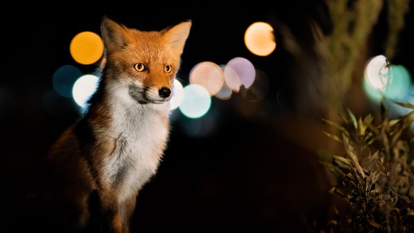 Night Fox thumbnail
