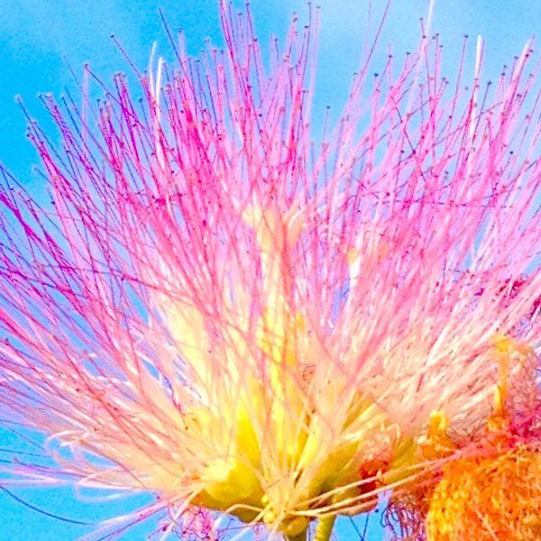 Mimosa Flower thumbnail