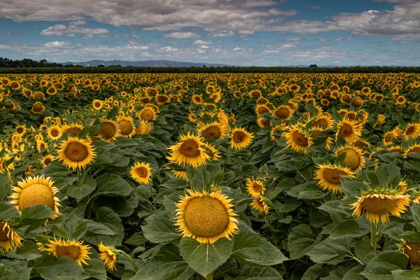 Sunflower Field thumbnail
