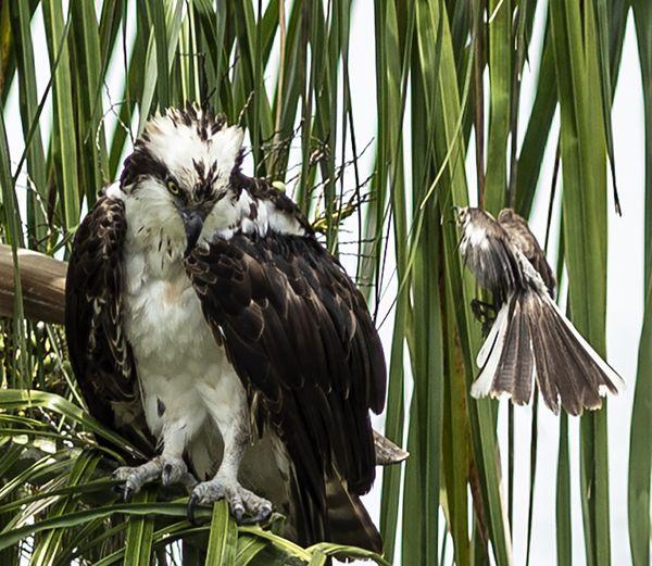 A Northern Mockingbird harassing an Osprey  thumbnail