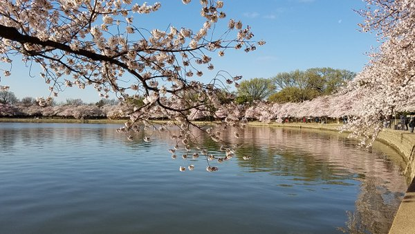Tidal Basin Cherry Blossoms Washington DC Samsung SMG935V thumbnail