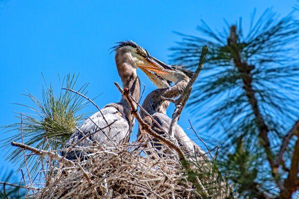 Visiting a Great Blue Heron Rookery thumbnail