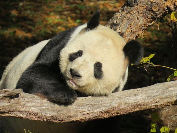National Zoo Panda thumbnail