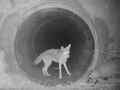Coyotes and badgers teaming up to hunt is actually normal behavior in nature.