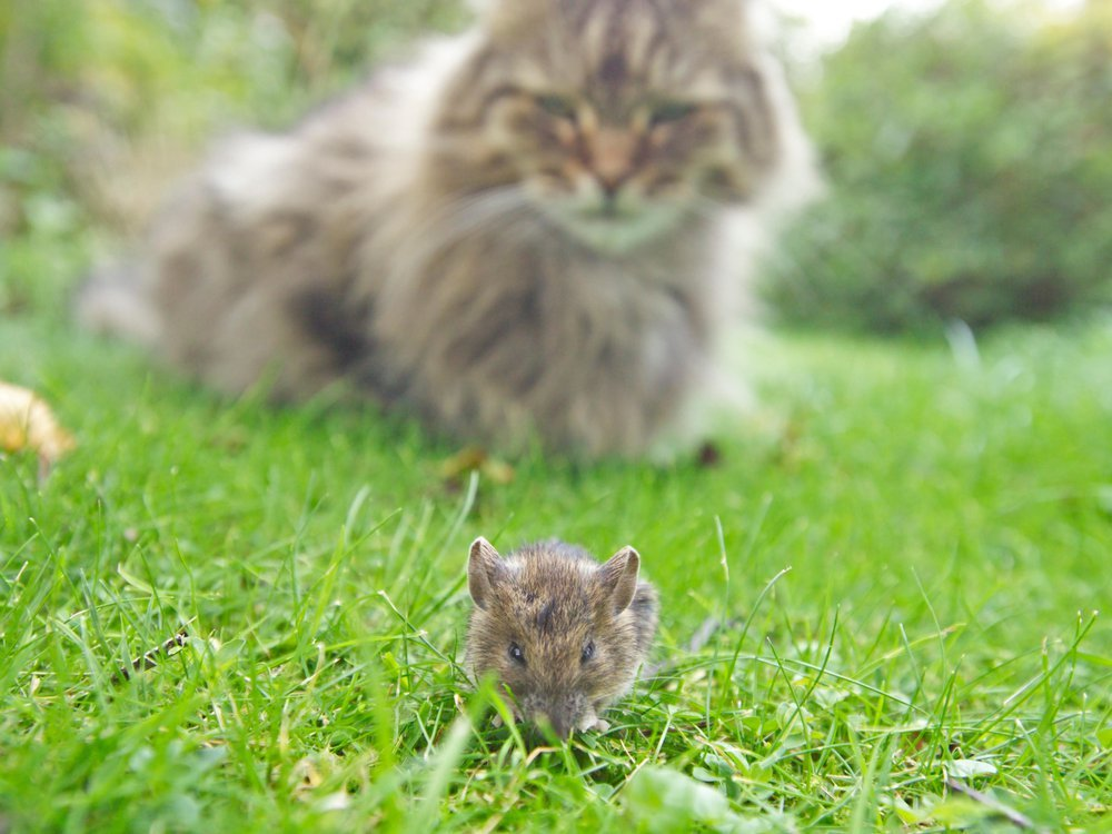 Cat watching mouse