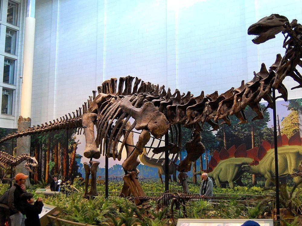 Apatosaurus louisae, Carnegie Museum