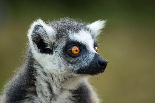 portrait of a lemur thumbnail