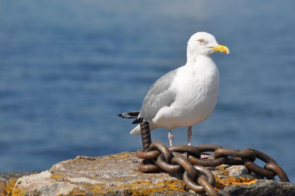 Gull on Crumbling Post thumbnail