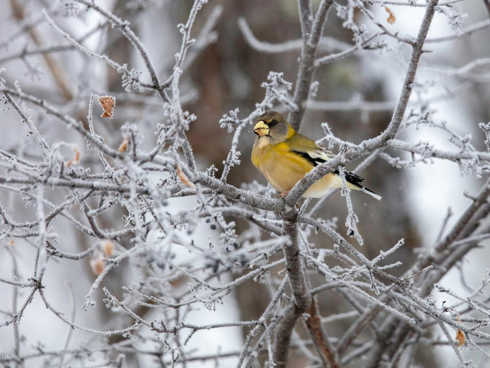 A yellow bird sits on a tree branch covered in ice