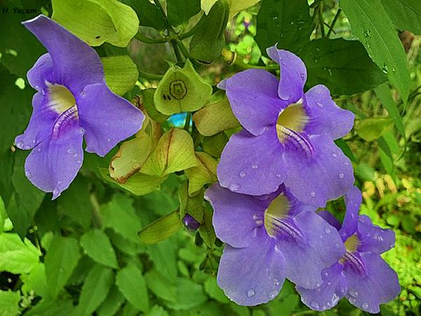 Lilac Sky Vines Growing Everywhere thumbnail