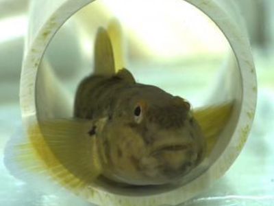 A round goby (Neogobius melanostomus) in a plastic pipe in the lab.